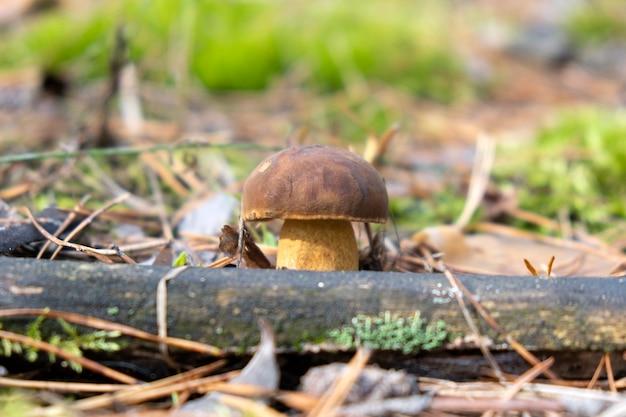 Primo piano piccolo fungo bianco nella foresta selvaggia sotto il sole in aghi di abete rosso raccolta di funghi autunnali