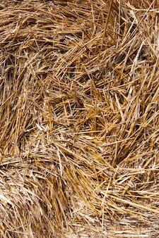 Primo piano di paglia dopo la mietitura del grano, un campo agricolo
