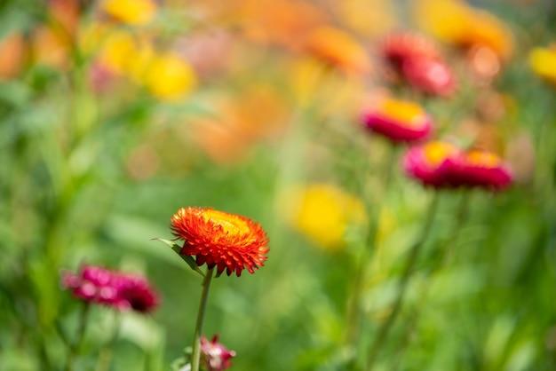 Un primo piano di fiori di paglia o fiori di elicriso bracteatum