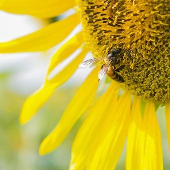 Primo piano girasole e lavoro ape natura sfondo