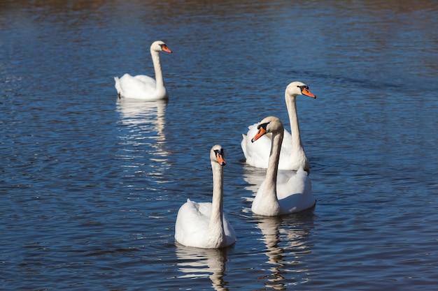 Cigni del primo piano in primavera, un bellissimo gruppo di uccelli acquatici di cigni di uccelli su un lago o un fiume, un gruppo di cigni che nuotano sull'acqua