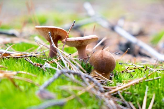 Primo piano tre funghi nella foresta selvaggia sotto il sole nel muschio autunno nella foresta raccolta di funghi