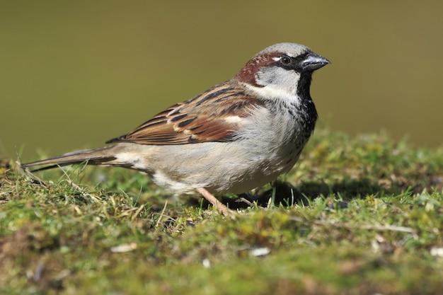 Primo piano di un piccolo passero in piedi sul suolo