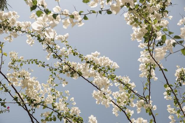 Primo piano della pianta tropicale con bellissimi fiori bianchi e foglie verdi contro il cielo blu