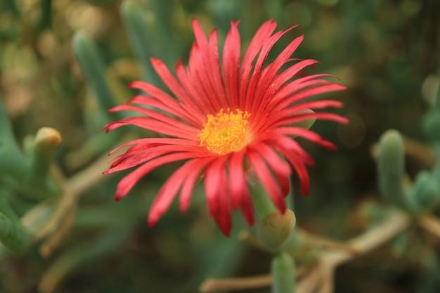 Primo piano un fiore rosso vibrante di piante succulente karkalla