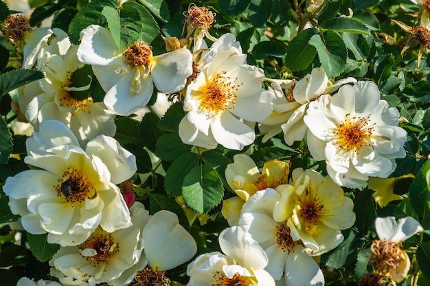 Vista del primo piano dei fiori di fioritura delle rose bianche nel giardino