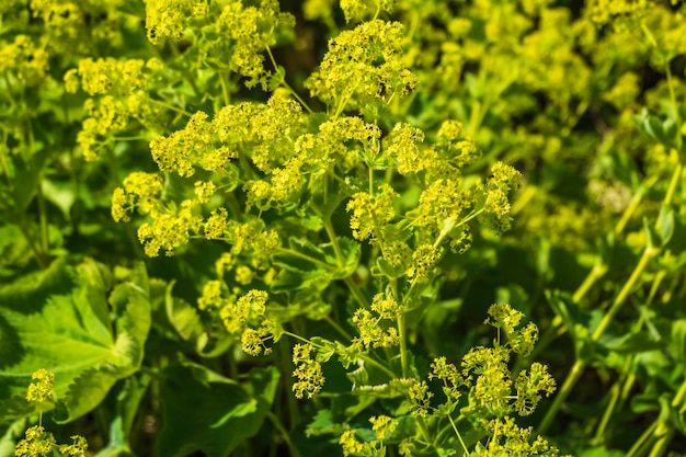 Vista del primo piano dei fiori gialli di fioritura sui cenni storici verdi della natura.
