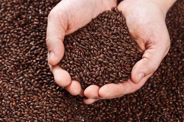 Vista del primo piano di orzo al cioccolato malt grains in mani.
