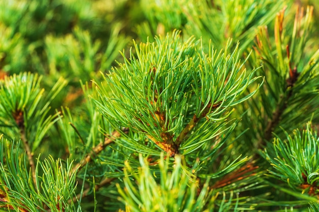 Primo piano aghi di arbusto pino cembro siberiano pinus pumila atmosfera natalizia sfondo naturale natural