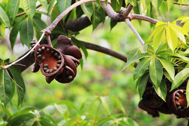 Vista ingrandita di sterculia foetida bastard poon treefruits