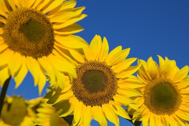 Vista ingrandita di un girasole giallo su uno sfondo di cielo azzurro con alcuni altri girasoli fuori fuoco