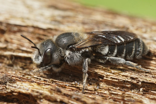 Primo piano della vipera bugloss mason bee (hoplitis adunca) su un wood