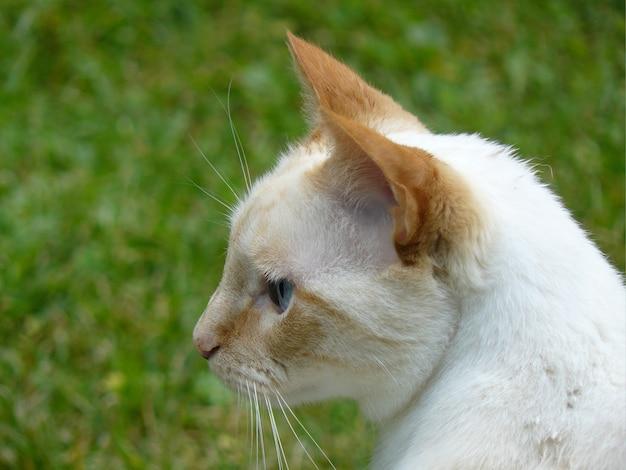 Primo piano di un gatto bianco con bellissimi occhi azzurri, all'aperto