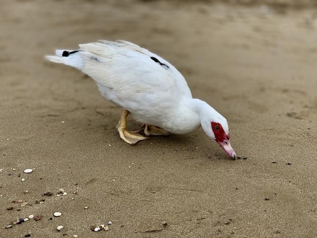Primo piano di un'anatra bianca del muschio sulla spiaggia sabbiosa durante il giorno