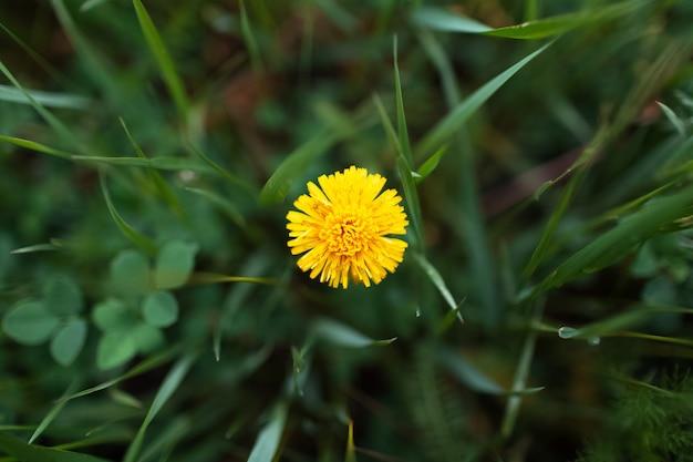 Primo piano del dente di leone giallo su fondo di erba verde vaga. vista dall'alto.
