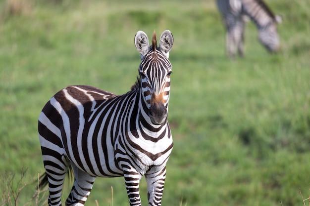 Un primo piano di una zebra in un parco nazionale