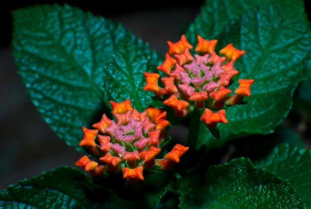 Panno di fiori d'oro lantana camara verbenaceae