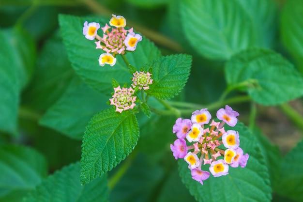 Panno d'oro o fiore di lantana camara in giardino