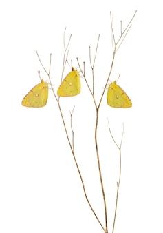 Le farfalle di zolfo nebulose sono atterrate su un ramo sottile, colias philodice, isolato su bianco