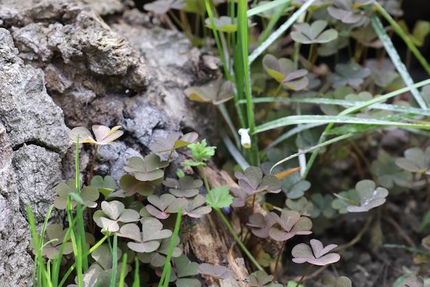 Trifoglio a terra trifoglio verde in estate al sole