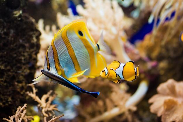 Pesce pagliaccio anemone che ripara tra i tentacoli del suo anemone di mare.