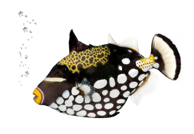 Pesce balestra nero del pagliaccio, balistoides conspicillum, su bianco isolato
