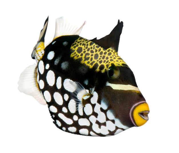 Pesce balestra nero (pesce) - balistoides conspicillum su un bianco isolato