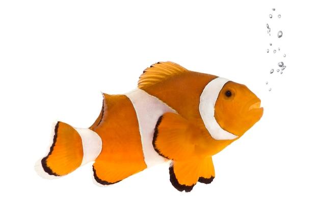 Pesce pagliaccio di fronte su un muro bianco