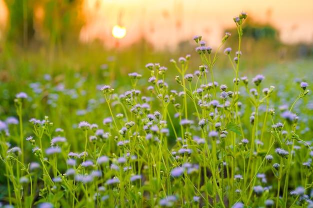 Ciuffo di fiori selvatici di erba una luce calda nel tramonto estivo su sfondo naturale.