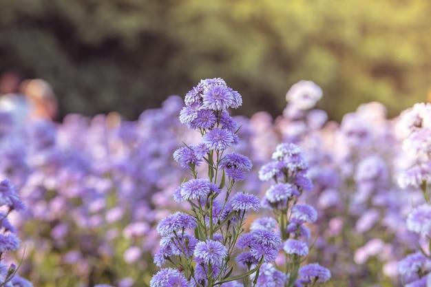 Grappolo di margherite comuni o fiori selvatici di margherite da prato