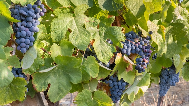 Grappolo d'uva da vicino per la raccolta e la vinificazione