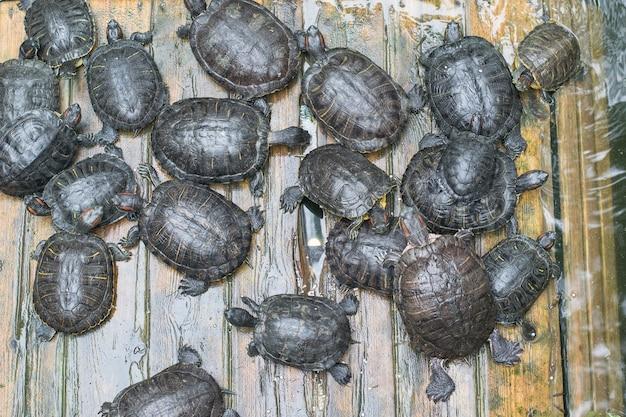 Un gruppo di tartarughe su una piattaforma di legno in uno stagno. anfibi.