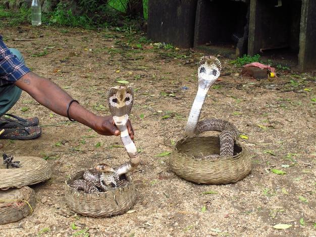 Il cobra nel parco di polonnaruwa, sri lanka