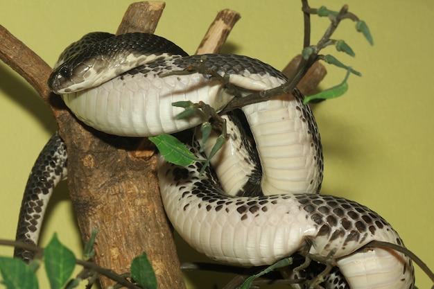 Il serpente della cobra sull'albero di bastone alla tailandia