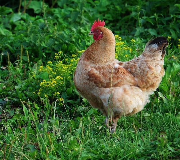 Gallo e galline che camminano sull'erba, ora legale