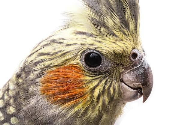 Cockatiel bird, testa sul primo piano dell'uccello domestico