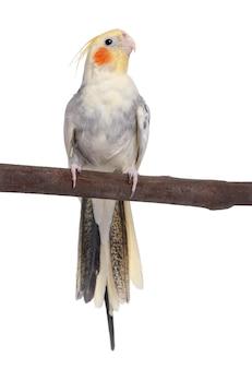 Cockatiel che si appollaia su un ramo - nymphicus hollandicus su bianco isolato