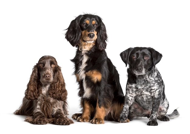 Cocker spaniel e cani di razza mista seduti su sfondo bianco