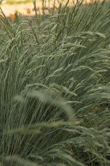 Campo dei gambi della pianta del bluegrass di cocksfoot