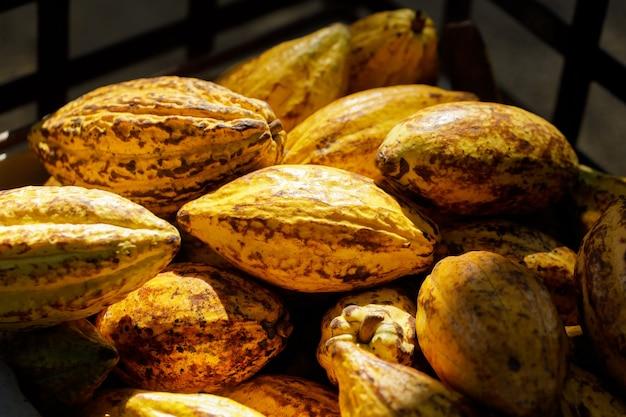 Fave di cacao e baccello di cacao su una superficie di legno.
