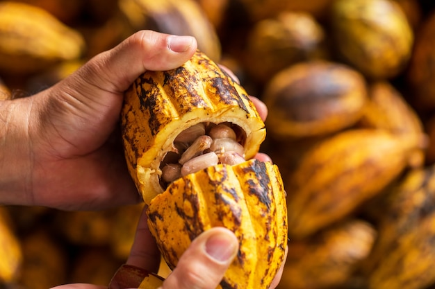 Fave di cacao in baccello di cacao