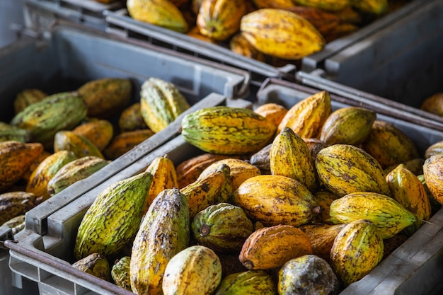 Cacao e baccelli di cacao in casse per la vendita