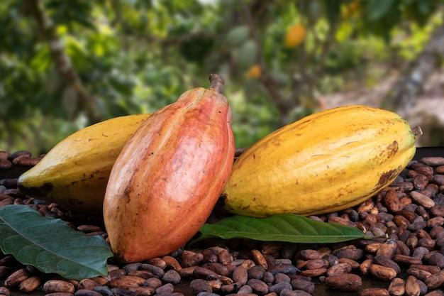 Frutti di cacao e fave di cacao crude con piantagione di cacao defocused nel. Foto Premium