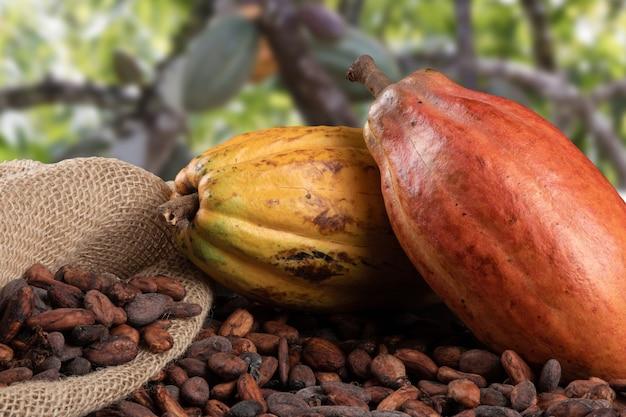 Frutti di cacao e fave di cacao crude con piantagione di cacao defocused nel.