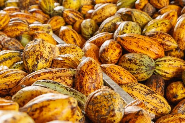 Baccelli di cacao in fabbrica