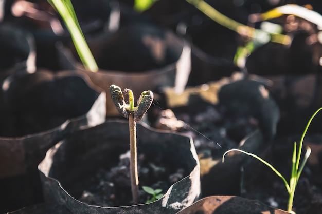 Piantine di cacao e alberi di cacao stanno crescendo nuovi nella fattoria
