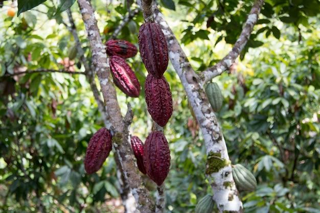 Un albero del cacao con baccelli di cacao alla piantagione di cacao.