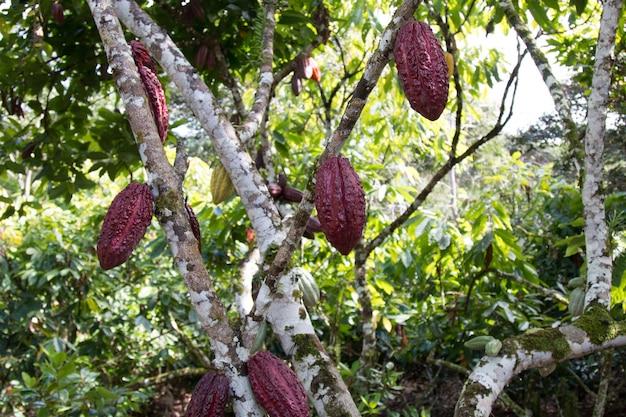 Un albero del cacao con baccelli di cacao alla piantagione di cacao. Foto Premium
