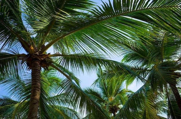 Sfondo di palma da cocco