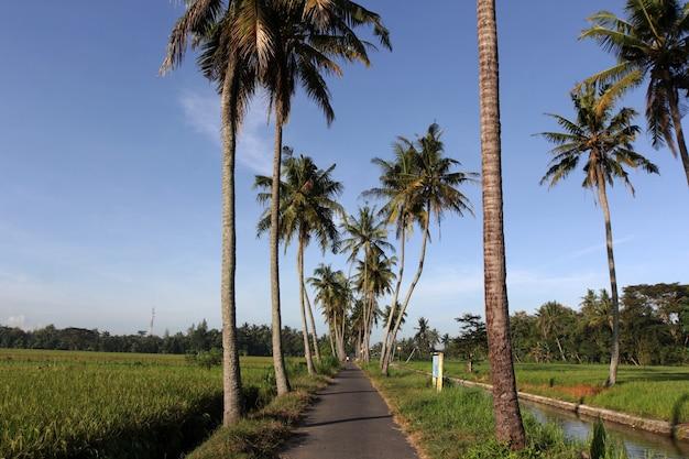 Gli alberi di cocco crescono ai margini delle risaie